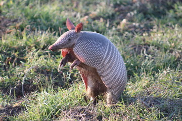 Armadillo standing on his hind legs looking to the side