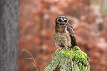 Strix leptogrammica. Owl in nature. Beautiful bird picture. Autumn colors. From bird life. Photographed in Czech.