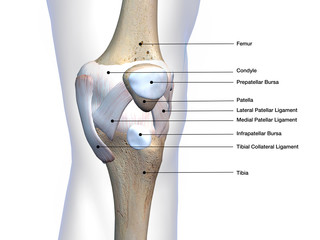 Knee Joint Bone and Connective Tissue Labeled on White