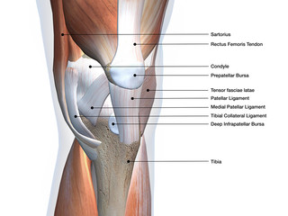 Knee Joint Muscles and Ligaments Labeled on White
