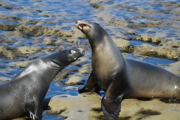 California Sea Lions fighting on rocks in LaJolla San Diego California