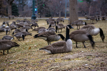 Geese in a Public Park