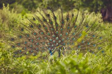 SriLanka original at the nature wild peacock in the natural landscape