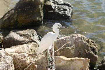 Snowy white egret standing on rock pile