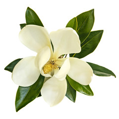 Photo sur Aluminium Magnolia Magnolia Flower Top View Isolated on White