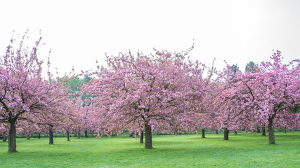 Spring cherry blossoms in Paris France