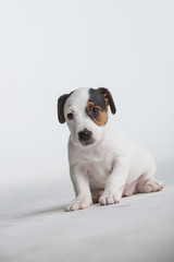 Cute Jack Russell puppy isolated on a white background.