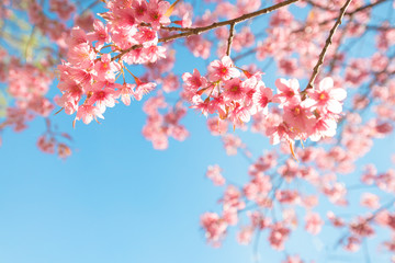 Beautiful sakura flower (cherry blossom) in spring. sakura tree flower on blue sky. Wall mural
