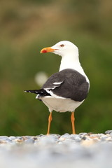 Larus fuscus. Beautiful nature of the North Sea. European bird. Wild nature. Germany, Helgoland. Bird on the beach. Seashore with stones. Beautiful picture. Green color in the photo.
