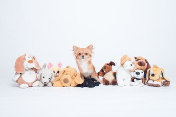 Chihuahua dog hiding in a row of many plush toys