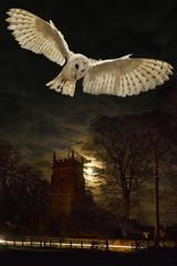 Fototapete - Barn Owl (Tyto alba) - United Kingdom