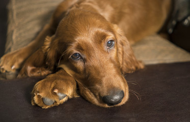 Young Canine Irish Setter Rust Coat Laying Down