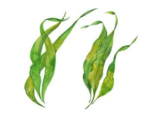 watercolor seaweed kelp