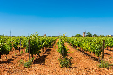 Vineyards in Central Mallorca Spain