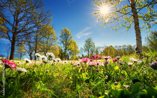 Wall mural Meadow with lots of white and pink spring daisy flowers in sunny day