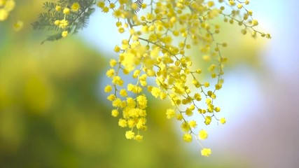 Klistermärke - Mimosa. Spring flowers Easter background. Blooming mimosa tree over blue sky. 4K Ultra HD video