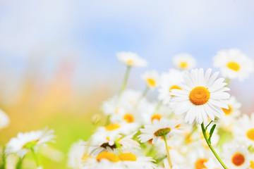 Chamomile among flowers
