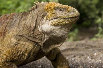 Galapagos Land Iguana - Galapagos Islands - Ecuador