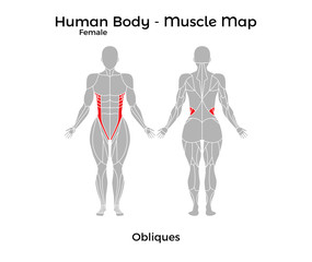 Female Human Body - Muscle map, Obliques. Vector Illustration - EPS10.
