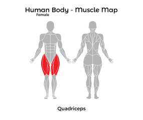 Female Human Body - Muscle map, Quadriceps. Vector Illustration - EPS10.