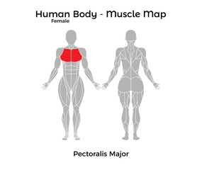 Female Human Body - Muscle map, Pectoralis Major. Vector Illustration - EPS10.