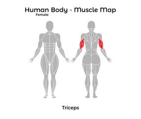 Female Human Body - Muscle map, Triceps. Vector Illustration - EPS10.