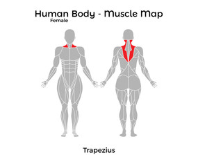 Female Human Body - Muscle map, Trapezius. Vector Illustration - EPS10.