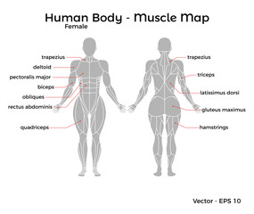 Female Human Body Muscle map, with major muscle names, front and back. Vector EPS 10 Illustration.