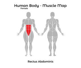 Female Human Body - Muscle map, Rectus Abdominis. Vector Illustration - EPS10.