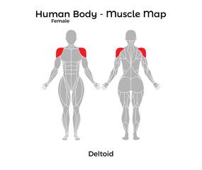 Female Human Body - Muscle map, Deltoid. Vector Illustration - EPS10.