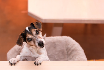 cute little naughty tricolor Jack Russell Terrier dog is standing on his hind legs - hair style smooth