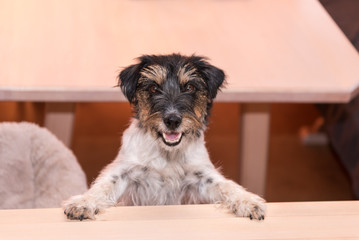 cute little naughty tricolor Jack Russell Terrier dog is standing on his hind legs - hair style rough