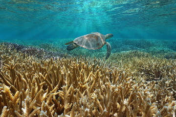 Coral reef underwater with a green sea turtle swims between water surface and corals, Pacific ocean, New Caledonia, Oceania