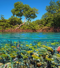 Split image above and below water surface with mangrove and a shoal of tropical fish with sea sponges underwater, Caribbean sea, Panama