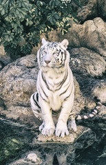 White tiger in a zoo of Spain
