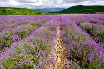 Garden Poster Lavender Champ de lavande en été. Provence. France.