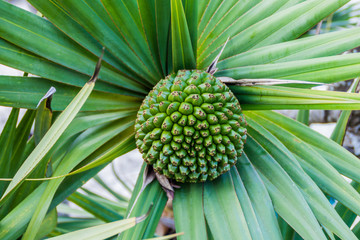 Detail of a palm fruit at La Gran Piedra mountain, Cuba
