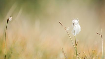 Fleur des montagnes
