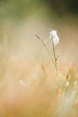 Fleur des marais
