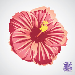 HIbiscus flower in pink, red and yellow