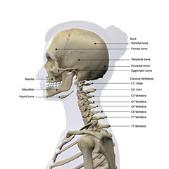 Skull and Cervical Spine Lateral View Labeled on White