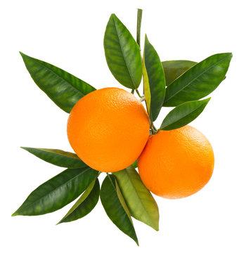 Twig of fresh ripe oranges.