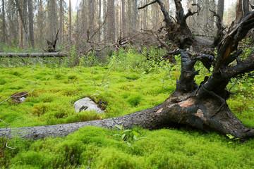 Fallen fir in wet environment in a natural coniferous forest after a forest fire in sweden