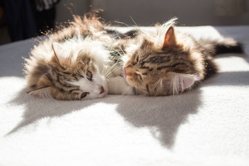 Back lit cute Siberian kittens laying on a bed, playing and snuggling. Siberian cats are thought to cause fewer allergies in people allergic. Concepts family pet, allergies, hypoallergenic