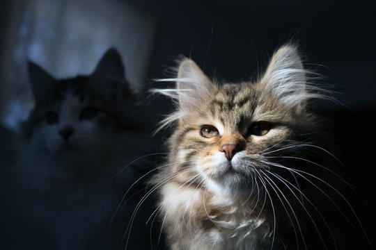 Little tabby Siberian kitten with long whiskers looking brave and proud, with another cat in silhouette in the background. Concepts family pet, allergies, hypoallergenic