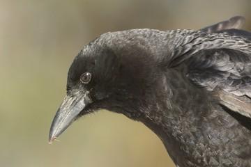 Fototapete - American Crow (Corvus brachyrhynchos)