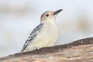 Fotoväggar - Woodpecker on a Feeder