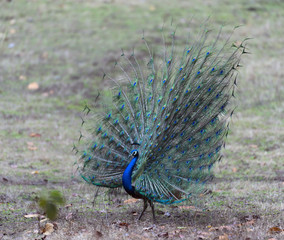 Indian peafowl or blue peafowl (Pavo cristatus), with tail fanned, showing all it's colours, India, Asia