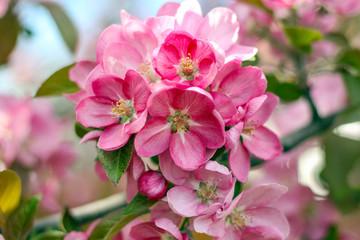 Apple blossom bright pink flowers