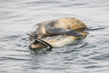 Sea turtles (Chelonioidea) breeding at sea